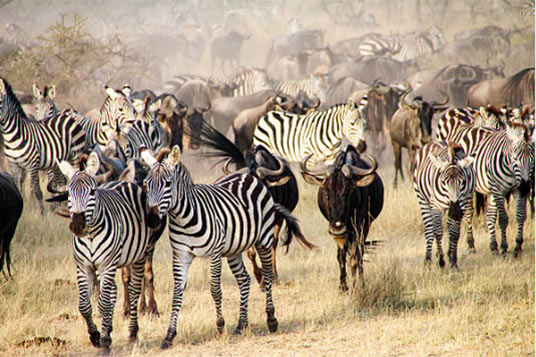 The great serengeti Migration - Nyikani Camp & Lodges